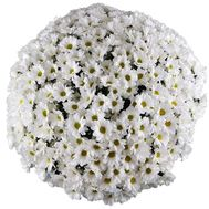 Buy 101 camomiles in Zaporozhye - flowers and bouquets on roza.zp.ua