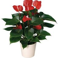 Anthurium - flowers and bouquets on roza.zp.ua