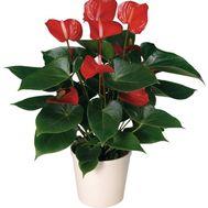 Антуриум - цветы и букеты на roza.zp.ua