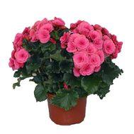 Бегония - цветы и букеты на roza.zp.ua