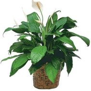 """Spathiphyllum"" in the online flower shop roza.zp.ua"