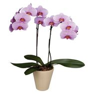 """Purple orchid phalepsisis"" in the online flower shop roza.zp.ua"
