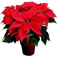 Poinsettia - flowers and bouquets on roza.zp.ua
