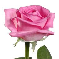 Pink roses per piece - flowers and bouquets on roza.zp.ua