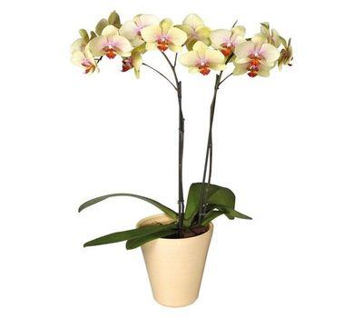 """""""Желтая орхидея фаленопсис"""" в интернет-магазине цветов roza.zp.ua"""