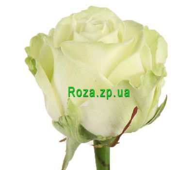 """White roses per piece"" in the online flower shop roza.zp.ua"