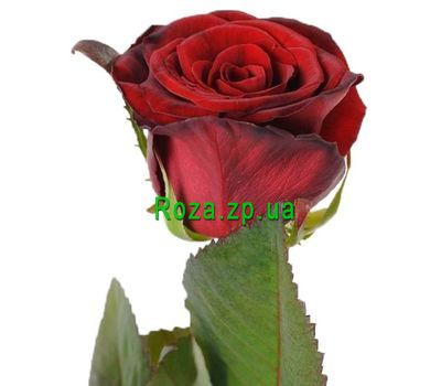 """Red roses per piece"" in the online flower shop roza.zp.ua"