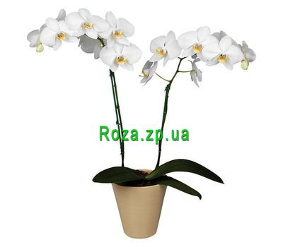 """White orchid phalepsis"" in the online flower shop roza.zp.ua"