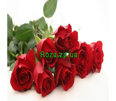 """Bouquet of 7 red roses"" in the online flower shop roza.zp.ua"