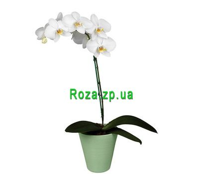 """White phalaenopsis orchid"" in the online flower shop roza.zp.ua"