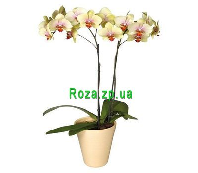 """Yellow Phalaenopsis orchid"" in the online flower shop roza.zp.ua"
