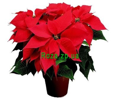 """Poinsettia"" in the online flower shop roza.zp.ua"
