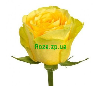 """Yellow roses by the piece"" in the online flower shop roza.zp.ua"