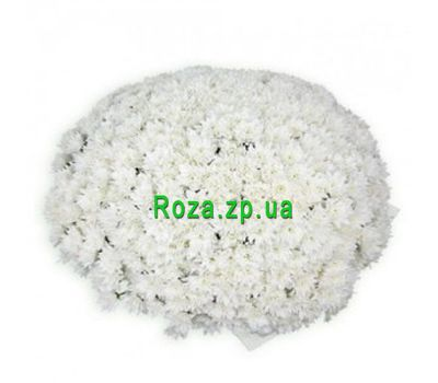 """Bouquet of 101 chrysanthemums"" in the online flower shop roza.zp.ua"