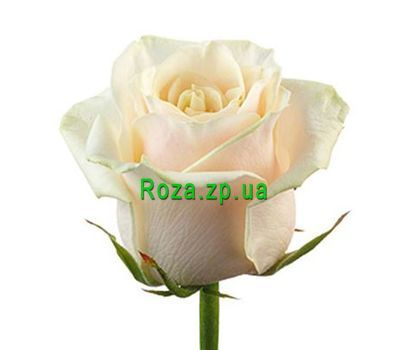 """""""Кремовые розы поштучно"""" в интернет-магазине цветов roza.zp.ua"""