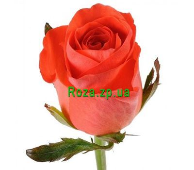 """Orange roses by the piece"" in the online flower shop roza.zp.ua"